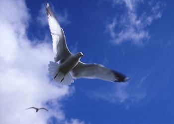 2-gulls-in-flight