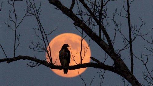 hawk and moon